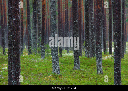 Scots pines (Pinus sylvestris) covered with lichen on bark of tree trunks in commercial forest, Dalarna, Sweden - Stock Photo