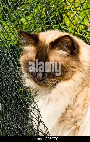 ragdoll tomcat - Stock Photo
