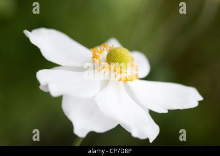 Anemone x hybrida 'Honorine Jobert', Anemone, Japanese anemone, White, Green. - Stock Photo