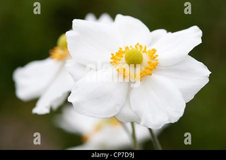 Anemone x hybrida 'Honorine Jobert', Japanese anemone, White flowers. - Stock Photo