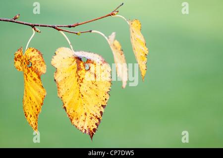 Betula pendula, Birch, Silver birch, Yellow, Green. - Stock Photo
