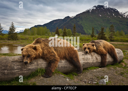 CAPTIVE: Two mature Brown bears lay stretched out on a log at Alaska Wildlife Conservation Center, Southcentral - Stock Photo