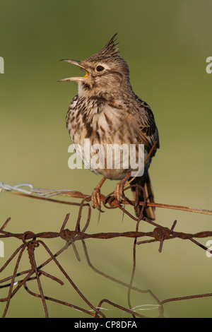 Singing Crested Lark (Galerida cristata), Lesvos, Greece - Stock Photo