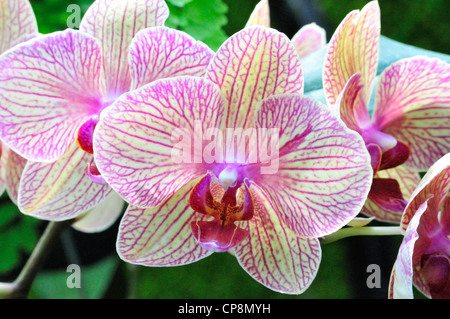 Phalaenopsis Baldan's Kaleidoscope, a member of the orchid family - Stock Photo