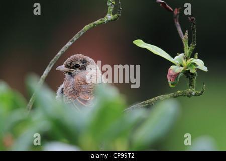 Juvenile Red-backed Shrike (Lanius collurio) - Stock Photo