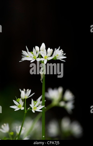 Allium ursinum. Ramsons. Wood Garlic / Wild garlic flowers against dark background - Stock Photo