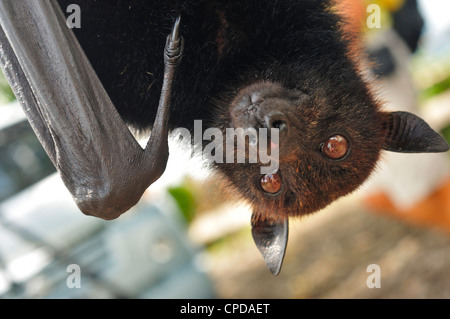 Large Flying Fox, Pteropus vampyrus, Pteropodidae, Bali, Indonesia, Asia - Stock Photo