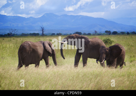 African elephant  Loxodonta africana family greeting each other. Mikumi national park.Tanzania Africa. - Stock Photo