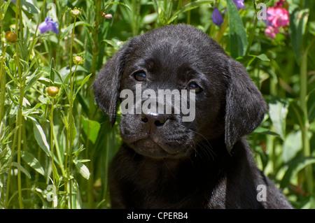 Black lab puppy-head shot - Stock Photo