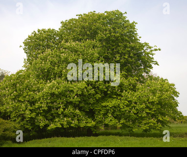 Aesculus hippocastanum Horse chestnut tree spring flower - Stock Photo