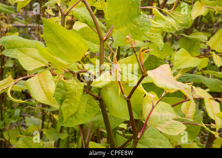 Japanese knotweed plant Fallopia japonica close up - Stock Photo