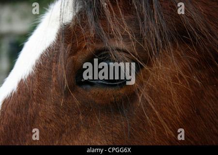 A brown horse with white strip marking on forehead - Stock Photo