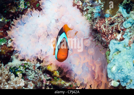 Red and black anemonefish (Amphiprion melanopus) in Bubble tip anemone - Stock Photo