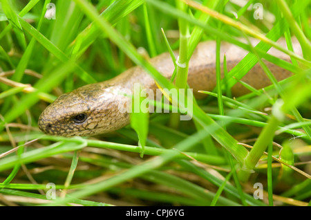 Slow worm Anguis fragilis Single adult close-up in grass UK - Stock Photo