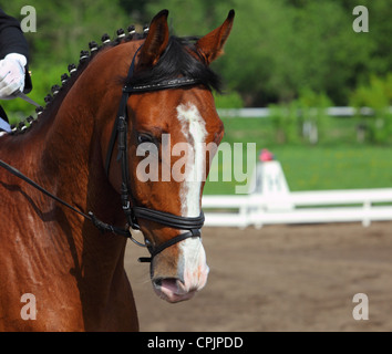 A close-up portrait of beautiful dressage horse during the dressage test - Stock Photo