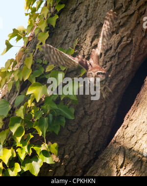 Little Owl (Athene noctua) leaving nest cavity and flying towards camera - Stock Photo