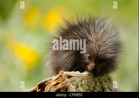Porcupine (Erethizon dorsatum) baby- captive specimen, Bozeman, Montana, USA - Stock Photo