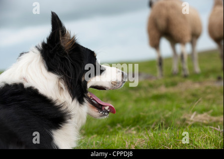 Border Collie Sheepdog working in field. - Stock Photo