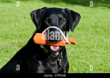 Black Labrador retriever with retriever bumper - Stock Photo