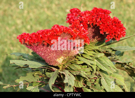 vibrant red flower named plumed cockscomb, seen in India - Stock Photo