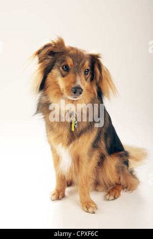 Portrait of a medium sized brown dog in a studio - Stock Photo