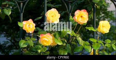 Chinese Rose Flower bloomed in a spring garden - Stock Photo