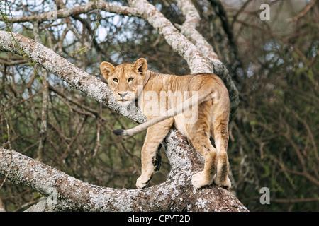 Lioness (Panthera leo) in a tree, Serengeti, Tanzania, Africa - Stock Photo