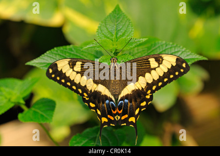 Common Lime Butterfly or Citrus Swallowtail (Papilio demoleus), tropical butterfly, Australia - Stock Photo