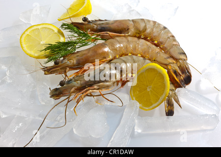 Raw Black Tiger Prawn (Penaeus monodon), shrimp with lemon, salad and dill on ice, ready for preparation - Stock Photo