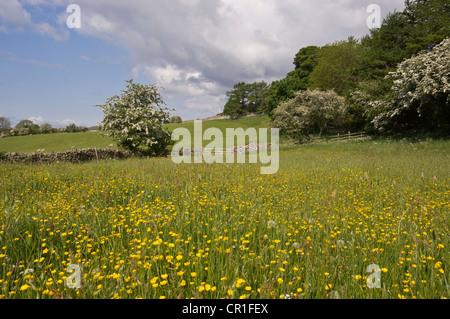 Spring flowers in a traditional hay meadow in the Yorkshire Dales. Bellerby near Leyburn. - Stock Photo