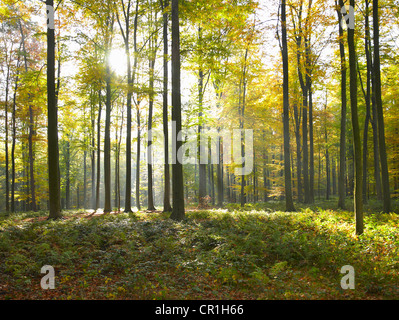 Sun shining through trees in forest - Stock Photo