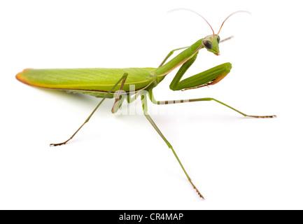 Praying mantis (Mantis religiosa) isolated on white - Stock Photo