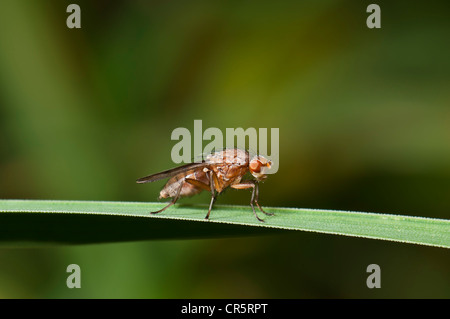 Heleomyzid Fly (Suillia variegata) on a blade of grass, Henne Beach, West Jutland, Denmark, Europe - Stock Photo