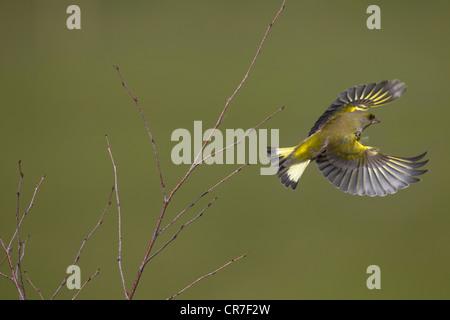 Greenfinch Carduelis chloris in flight from birch scrub - Stock Photo