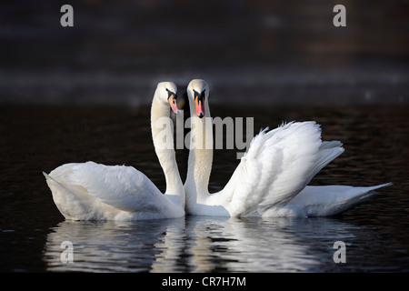 Mute swans (Cygnus olor), couple during courtship display - Stock Photo