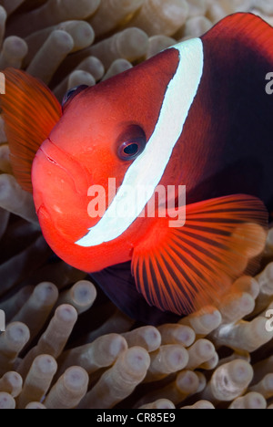 Red and Black anemonefish, Amphiprion melanopus, Bunaken Marine Park, Sulawesi, Indonesia, Pacific - Stock Photo