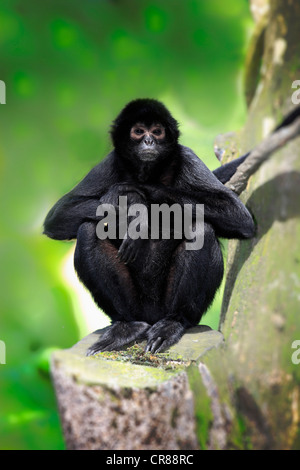 Guiana spider monkey, or red-faced black spider monkey (Ateles paniscus), on tree, Singapore, Asia - Stock Photo
