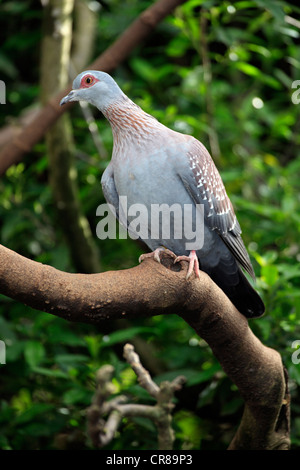 Speckled Pigeon or African Rock Pigeon (Columba guinea) - Stock Photo