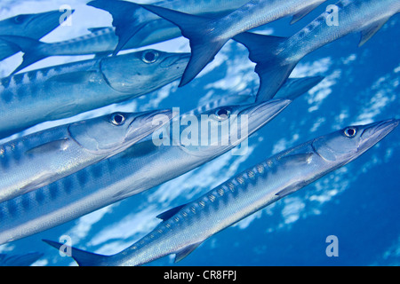 School of Blackfin Barracuda. - Stock Photo