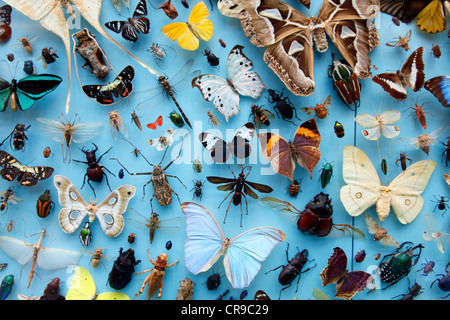 Collection of insects, moths, butterflies, beetles from around the world, the University Museum of Natural History, - Stock Photo