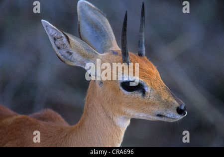 Steenbok (Raphicerus campestris), male, Kruger National Park, South Africa, Africa - Stock Photo