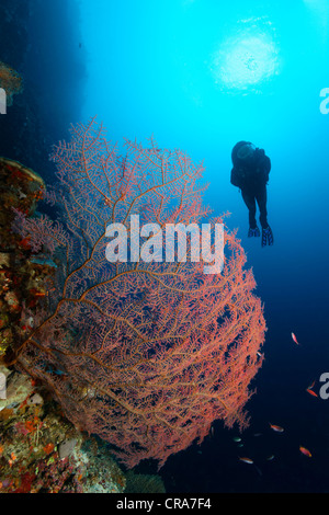 Scuba diver looking at red, unidentified coral sea fan on coral reef, steep wall, backlit, sun, Great Barrier Reef - Stock Photo