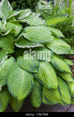 HOSTA LEAVES WITH RAINDROPS IN SUMMER GARDEN UK - Stock Photo