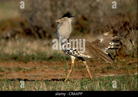 Kori Bustard (Ardeotis kori), male in courtship display, Kruger National Park, South Africa - Stock Photo