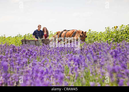 Young couple riding on a horse cart through fields of blooming lavender, Moldova, Southeastern Europe - Stock Photo