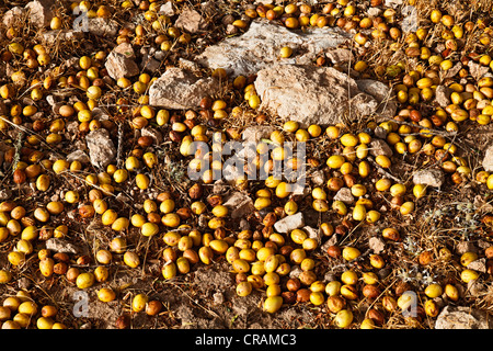 In August the nuts of the Argan (Argania spinosa) trees start to fall down, near Essaouira, Morocco, Africa - Stock Photo