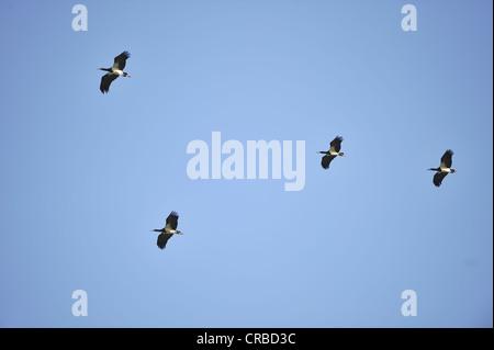 Abdim's Stork (Ciconia abdimii) flock in flight at Maasai Mara Kenya - East Africa - Stock Photo
