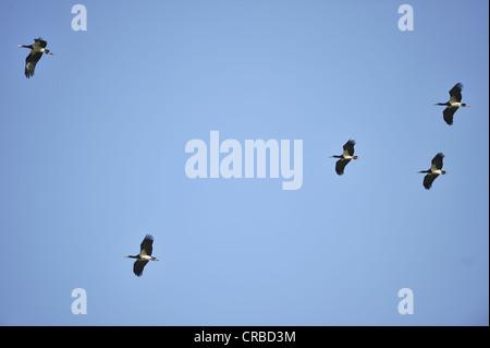 Abdim's Stork (Ciconia abdimii) flock in flight at Maasai Mara - Stock Photo