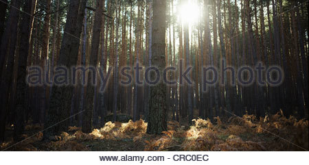 Sun shining through forest trees - Stock Photo