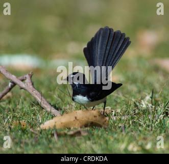 Willie Wagtail (Rhipidura leucophrys) - Stock Photo